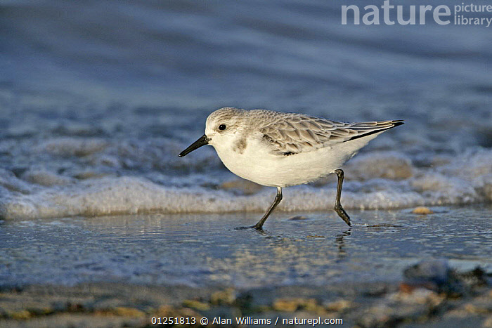 Sanderling (Calidris alba) running along beach at tide line in winter plumage, East Mersea Island,  Essex, UK, December  ,  BIRDS,COASTS,EUROPE,SANDPIPERS,UK,VERTEBRATES,WADERS, United Kingdom  ,  Alan Williams