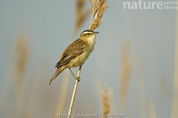 Sedge warbler (Acrocephalus schoenobaenus) perched on reed stem, Cliffe Marshes, Kent, UK, May  ,  BIRDS,EUROPE,MARSHES,reeds,UK,VERTEBRATES,WARBLERS,Wetlands, United Kingdom  ,  Alan Williams