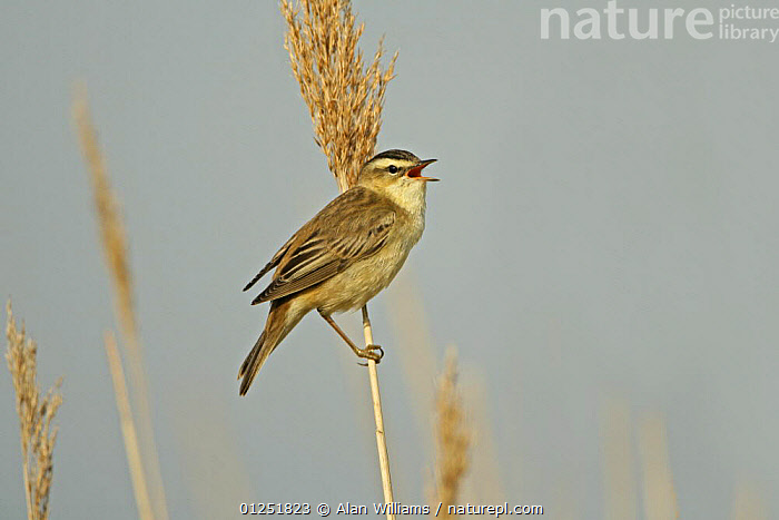 Sedge warbler (Acrocephalus schoenobaenus) singing, perched on reed stem, Cliffe Marshes, Kent, UK, May  ,  BEHAVIOUR,BIRDS,EUROPE,MARSHES,reeds,UK,VERTEBRATES,VERTICAL,VOCALISATION,WARBLERS,Wetlands, United Kingdom  ,  Alan Williams