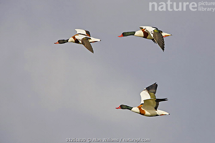 Three Shelduck (Tadorna tadorna) in flight, Lancashire, UK, October  ,  BEHAVIOUR,BIRDS,duck,DUCKS,EUROPE,FLYING,GROUPS,PROFILE,UK,VERTEBRATES,WATERFOWL, United Kingdom  ,  Alan Williams