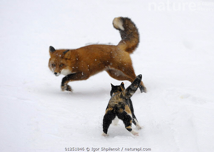 Domestic cat (Felis catus) scaring away a red fox (Vulpes vulpes), Kronotsky Nature Reserve,m Kamchatka, Russia. Veolia Environnement Wildlife Photographer of the Year 2009: Urban and Garden Wildlife Category: Winner  ,  AGGRESSION,ASIA,AWARDS,AWARD WINNING,BEHAVIOUR,CANIDS,CARNIVORES,CATS,COMPETITION,FOXES,FUNNY,HUMOROUS,MAMMALS,MIXED SPECIES,OUTDOORS,PETS,SNOW,TERRITORIAL,URBAN,VERTEBRATES,WINTER,Concepts  ,  Igor Shpilenok