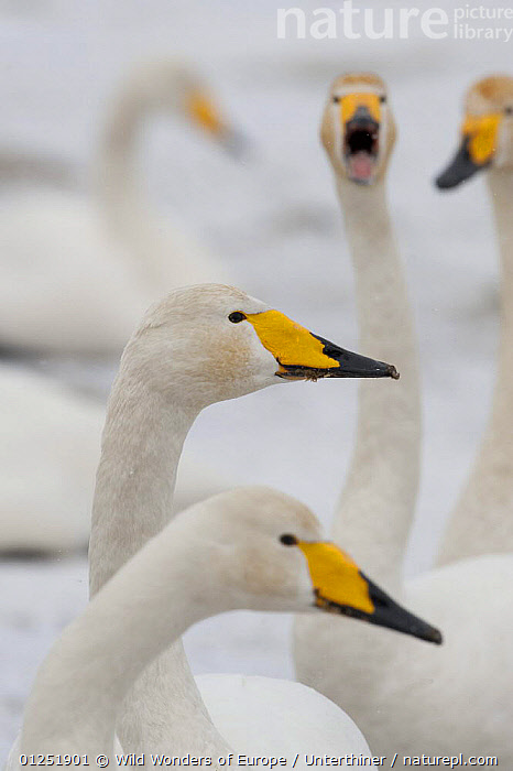 Whooper swans (Cygnus cygnus) head portrait, Lake Tysslingen, Sweden, March 2009.  ,  BIRDS,EUROPE,GROUPS,HEADS,PORTRAITS,PROFILE,SCANDINAVIA,Stefano Unterthiner,SWANS,SWEDEN,VERTEBRATES,VERTICAL,WATERFOWL,WWE, Scandinavia, Scandinavia,Wildfowl  ,  Wild Wonders of Europe / Unterthiner