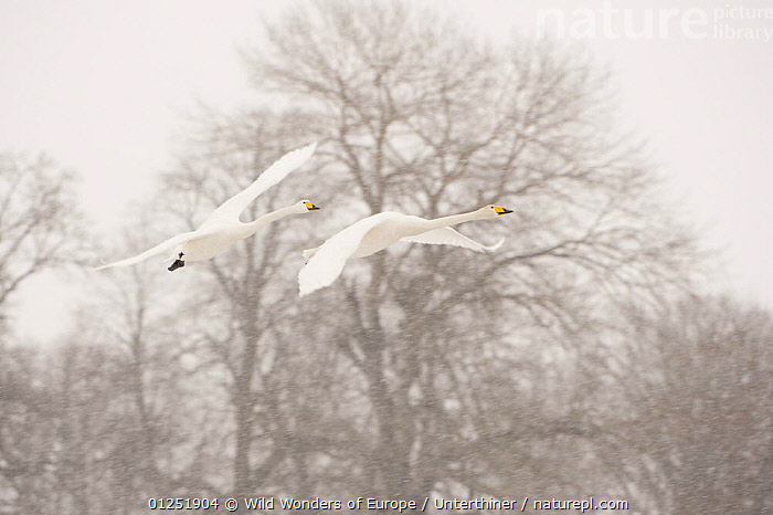 Two Whooper swans (Cygnus cygnus) flying in snow, Lake Tysslingen, Sweden, March 2009  ,  BIRDS,EUROPE,FLYING,SCANDINAVIA,snowing,Stefano Unterthiner,SWANS,SWEDEN,TREES,VERTEBRATES,WATERFOWL,WWE, Scandinavia,PLANTS,Wildfowl  ,  Wild Wonders of Europe / Unterthiner