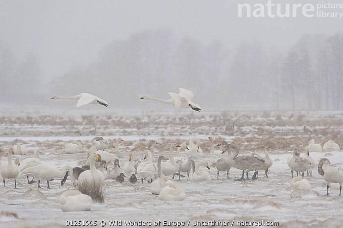 Whooper swans (Cygnus cygnus) in on ground with snow and ice, two flying by, Lake Tysslingen, Sweden, March 2009  ,  BIRDS,DUCKS,EUROPE,FLYING,GEESE,GROUPS,ICE,JUVENILE,LAKES,MIXED SPECIES,SCANDINAVIA,SNOW,snowing,Stefano Unterthiner,SWANS,SWEDEN,VERTEBRATES,WATERFOWL,WWE, Scandinavia,Wildfowl  ,  Wild Wonders of Europe / Unterthiner