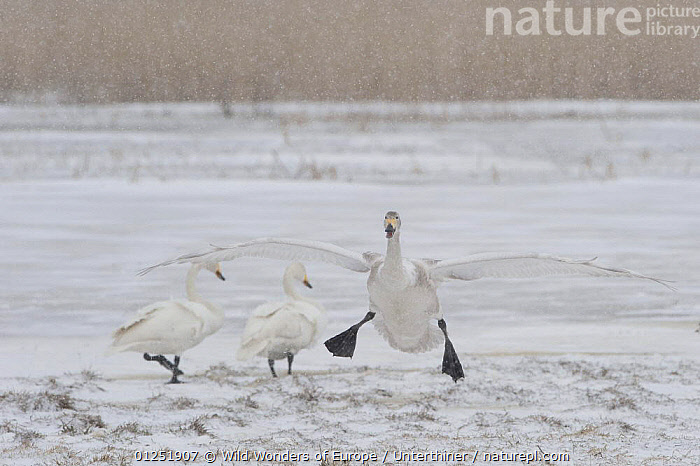 Whooper swan (Cygnus cygnus) landing, Lake Tysslingen, Sweden, March 2009  ,  BIRDS,EUROPE,FEET,FLYING,HUMOROUS,LANDING,SCANDINAVIA,SNOW,snowing,Stefano Unterthiner,SWANS,SWEDEN,VERTEBRATES,WATERFOWL,WINGS,WWE,Concepts, Scandinavia,Wildfowl  ,  Wild Wonders of Europe / Unterthiner