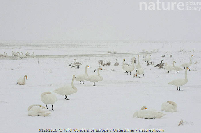 Whooper swans (Cygnus cygnus) and geese in snow, Lake Tysslingen, Sweden, March 2009  ,  BIRDS,EUROPE,GEESE,goose,GROUPS,MIXED SPECIES,SCANDINAVIA,SNOW,snowing,Stefano Unterthiner,SWANS,SWEDEN,VERTEBRATES,WATERFOWL,WWE, Scandinavia,Wildfowl  ,  Wild Wonders of Europe / Unterthiner