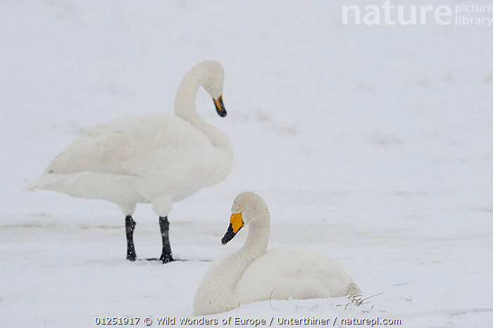 Two Whooper swans (Cygnus cygnus) in snow, Lake Tysslingen, Sweden, March 2009  ,  BIRDS,EUROPE,SCANDINAVIA,SNOW,snowing,Stefano Unterthiner,SWANS,SWEDEN,VERTEBRATES,WATERFOWL,WWE, Scandinavia,Wildfowl  ,  Wild Wonders of Europe / Unterthiner