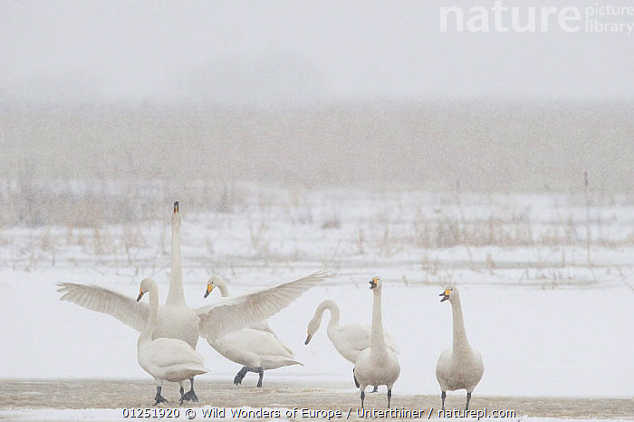 Whooper swans (Cygnus cygnus) one stretching wings, Lake Tysslingen, Sweden, March 2009  ,  BEHAVIOUR,BIRDS,EUROPE,GROUPS,SCANDINAVIA,SIX,SNOW,snowing,Stefano Unterthiner,STRETCHING,SWANS,SWEDEN,VERTEBRATES,WATERFOWL,WINGS,WWE, Scandinavia,Wildfowl  ,  Wild Wonders of Europe / Unterthiner