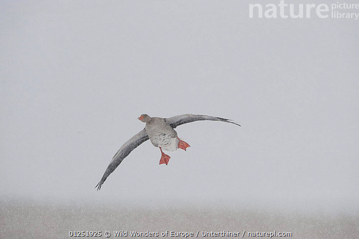 Greylag goose (Anser anser) flying in snow, Lake Tysslingen, Sweden, March 2009  ,  BIRDS,EUROPE,FLYING,GEESE,SCANDINAVIA,SNOW,snowing,Stefano Unterthiner,SWEDEN,VERTEBRATES,WATERFOWL,WWE, Scandinavia,Wildfowl  ,  Wild Wonders of Europe / Unterthiner