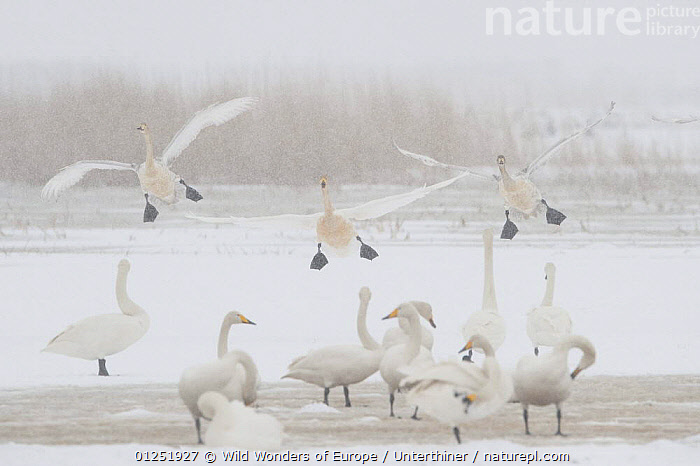 Whooper swans (Cygnus cygnus) three landing, others on ground, some preening, Lake Tysslingen, Sweden, March 2009  ,  BEHAVIOUR,BIRDS,EUROPE,FLYING,GROOMING,GROUPS,LANDING,SCANDINAVIA,SNOW,snowing,Stefano Unterthiner,SWANS,SWEDEN,VERTEBRATES,WATERFOWL,WWE, Scandinavia,Wildfowl  ,  Wild Wonders of Europe / Unterthiner