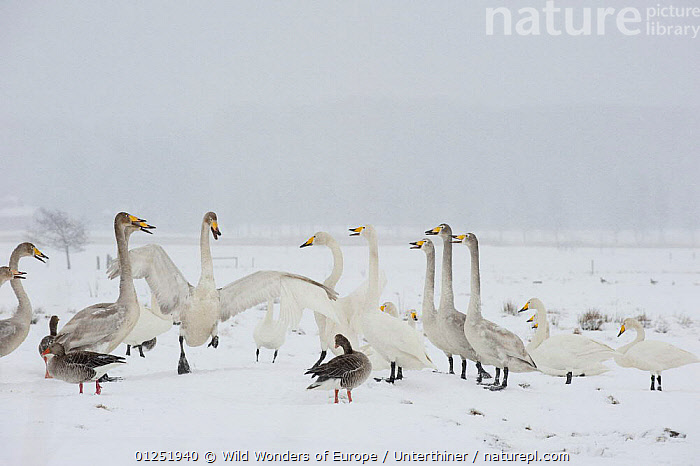 Whooper swans (Cygnus cygnus) adults and juveniles with Greylag geese (Anser anser) Lake Tysslingen, Sweden, March 2009  ,  BEHAVIOUR,BIRDS,EUROPE,GEESE,goose,GROUPS,JUVENILE,MIXED SPECIES,SCANDINAVIA,Stefano Unterthiner,SWANS,SWEDEN,VERTEBRATES,VOCALISATION,WATERFOWL,WWE, Scandinavia,Wildfowl  ,  Wild Wonders of Europe / Unterthiner
