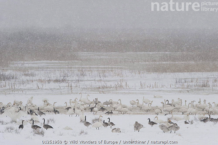 Whooper swans (Cygnus cygnus) Canada geese (Branta canadensis) and Greylag geese (Anser anser) in snow, Lake Tysslingen, Sweden, March 2009  ,  BIRDS,EUROPE,GEESE,LAKES,LANDSCAPES,SCANDINAVIA,SNOW,snowing,Stefano Unterthiner,SWANS,SWEDEN,VERTEBRATES,WATERFOWL,WWE, Scandinavia,Wildfowl  ,  Wild Wonders of Europe / Unterthiner