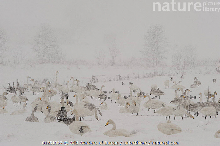 Whooper swans (Cygnus cygnus) and geese in a field, heavy snow, Lake Tysslingen, Sweden, March 2009  ,  BIRDS,EUROPE,GEESE,goose,GROUPS,JUVENILE,MIXED SPECIES,SCANDINAVIA,SNOW,snowing,Stefano Unterthiner,SWANS,SWEDEN,VERTEBRATES,WATERFOWL,WWE, Scandinavia,Wildfowl  ,  Wild Wonders of Europe / Unterthiner