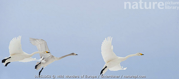 Three Whooper swans (Cygnus cygnus) in flight, two adults and a juvenile, Lake Tysslingen, Sweden, March 2009  ,  BIRDS,EUROPE,FLYING,JUVENILE,PANORAMIC,SCANDINAVIA,Stefano Unterthiner,SWANS,SWEDEN,VERTEBRATES,WATERFOWL,WWE, Scandinavia,Wildfowl  ,  Wild Wonders of Europe / Unterthiner