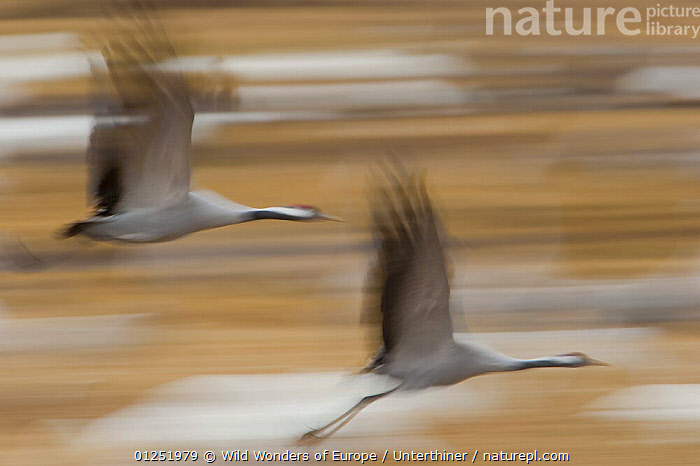 Common / Eurasian cranes (Grus grus) in flight, Lake Hornborga, Hornborgasj�n, Sweden, April 2009  ,  ACTION,ARTY SHOTS,BIRDS,CRANES,EUROPE,FLYING,MOVEMENT,SCANDINAVIA,Stefano Unterthiner,SWEDEN,two,VERTEBRATES,WINGS,WWE, Scandinavia  ,  Wild Wonders of Europe / Unterthiner
