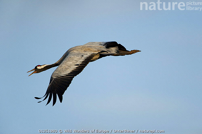 Common / Eurasian crane (Grus grus) in flight calling, Lake Hornborga, Hornborgasj�n, Sweden, April 2009  ,  BEHAVIOUR,BIRDS,CRANES,EUROPE,FLYING,SCANDINAVIA,Stefano Unterthiner,SWEDEN,VERTEBRATES,VOCALISATION,WWE, Scandinavia  ,  Wild Wonders of Europe / Unterthiner