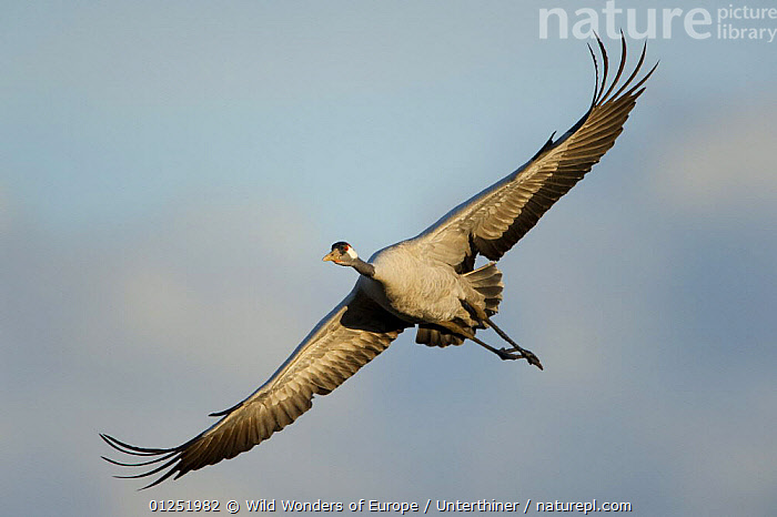 Common / Eurasian crane (Grus grus) in flight, Lake Hornborga, Hornborgasj�n, Sweden, April 2009  ,  BIRDS,CRANES,CUTOUT,EUROPE,LOW ANGLE SHOT,SCANDINAVIA,Stefano Unterthiner,SWEDEN,VERTEBRATES,WINGS,WWE, Scandinavia  ,  Wild Wonders of Europe / Unterthiner