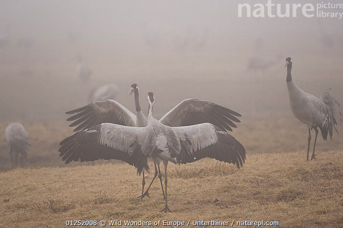 Common / Eurasian crane (Grus grus) courtship, Lake Hornborga, Hornborgasj�n, Sweden, April 2009  ,  BEHAVIOUR,BIRDS,COURTSHIP,CRANES,DISPLAY,EUROPE,MALE FEMALE PAIR,MIST,SCANDINAVIA,Stefano Unterthiner,SWEDEN,VERTEBRATES,WWE,Communication, Scandinavia  ,  Wild Wonders of Europe / Unterthiner