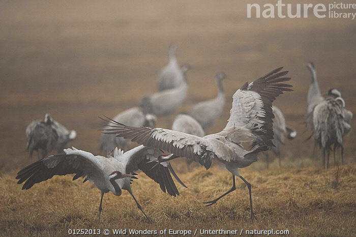 Two Common / Eurasian cranes (Grus grus) fighting, Lake Hornborga, Hornborgasj�n, Sweden, April 2009  ,  BEHAVIOUR,BIRDS,CRANES,EUROPE,FIGHTING,GROUPS,MIST,SCANDINAVIA,Stefano Unterthiner,SWEDEN,VERTEBRATES,WWE,Aggression, Scandinavia,Concepts  ,  Wild Wonders of Europe / Unterthiner