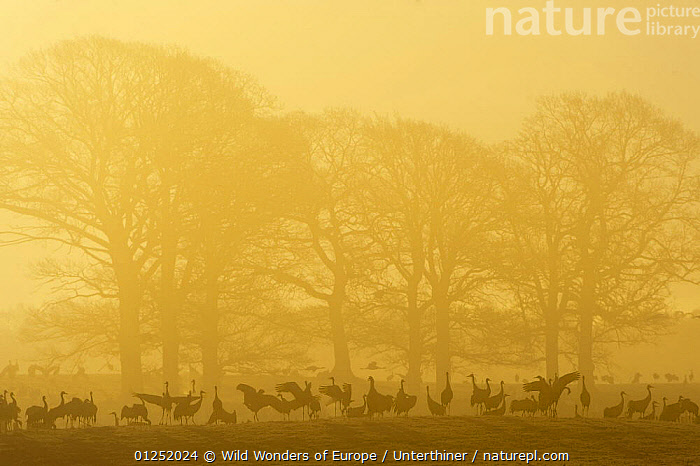 Common / Eurasian cranes (Grus grus) silhouetted on ground in front of trees at sunrise, Lake Hornborga, Hornborgasj�n, Sweden, April 2009 WWE BOOK. WWE INDOOR EXHIBITION  ,  BIRDS,CRANES,EUROPE,GROUPS,MIST,ORANGE,SCANDINAVIA,SILHOUETTES,Stefano Unterthiner,SWEDEN,TREES,VERTEBRATES,WWE, Scandinavia,PLANTS , BOOK PLATE, Scandinavia, Scandinavia  ,  Wild Wonders of Europe / Unterthiner