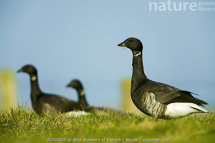 Brent goose (Branta bernicla) in field, Hallig Hooge, Germany, April 2009  ,  BIRDS,EUROPE,GEESE,GERMANY,L�szl� Nov�k,PROFILE,VERTEBRATES,WATERFOWL,WWE,Wildfowl  ,  Wild Wonders of Europe / Novák