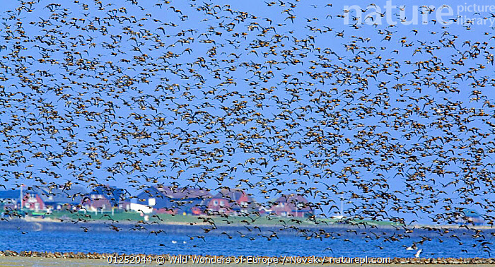 Large flock of waders in flight and on sand bank, Japsand, Schleswig-Holstein Wadden Sea National Park, Germany, April 2009  ,  BIRDS,BUILDINGS,COASTS,EUROPE,FLOCKS,FLYING,GERMANY,GROUPS,ISLANDS,L�szl� Nov�k,mass,NP,RESERVE,VERTEBRATES,wadden sea,WADERS,WWE,National Park  ,  Wild Wonders of Europe / Novák