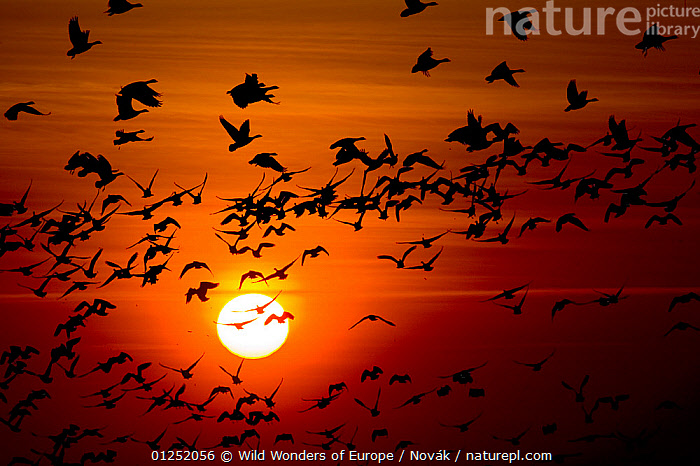 Barnacle goose (Branta leucopsis) flock in flight at sunset, Westerhever, Germany, April 2009  ,  BIRDS,conformity,EUROPE,FLOCKS,FLYING,FREEDOM,GEESE,GERMANY,GROUPS,Journey,L�szl� Nov�k,on the move,ORANGE,SILHOUETTES,SUNSET,VERTEBRATES,WATERFOWL,WWE,CONCEPTS  ,  Wild Wonders of Europe / Novák