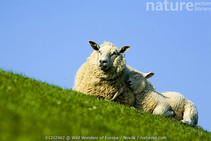 Sheep with lamb, Westerhever, Germany, April 2009, ARTIODACTYLA,BOVIDS,EUROPE,GERMANY,JUVENILE,L�szl� Nov�k,LIVESTOCK,MAMMALS,MOTHER BABY,SHEEP,SLEEPING,VERTEBRATES,WWE,Goats,Antelopes, Wild Wonders of Europe / Novák