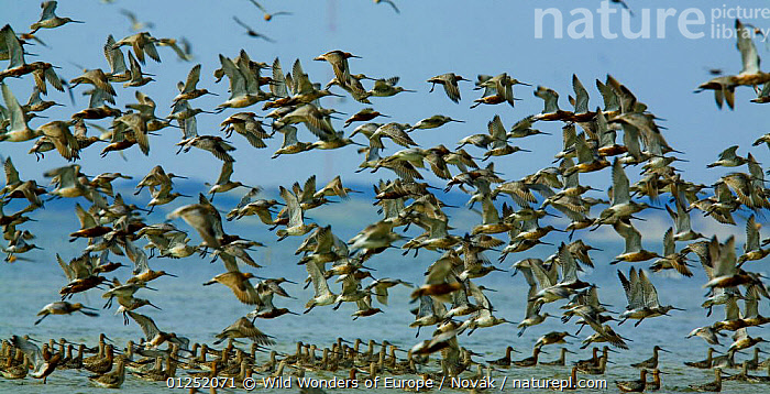 Bar-tailed godwit (Limosa lapponica) flock landing in sea, Sylt, Germany, April 2009  ,  BIRDS,COASTS,EUROPE,FLOCKS,FLYING,GERMANY,GODWITS,GROUPS,LANDING,L�szl� Nov�k,PANORAMIC,VERTEBRATES,wadden sea,WADERS,WWE  ,  Wild Wonders of Europe / Novák