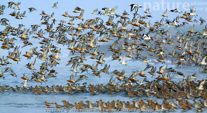 Dunlin (Calidris alpina) Knot (Calidris canutus) and Oystercatchers (Haematopus ostralegus) in shallow water and flying, Grossmorsum, Sylt, Germany, April 2009  ,  BIRDS,COASTS,EUROPE,FLOCKS,FLYING,GERMANY,GROUPS,L�szl� Nov�k,MIXED SPECIES,OYSTERCATCHERS,red knot,SANDPIPERS,VERTEBRATES,wadden sea,WADERS,WWE  ,  Wild Wonders of Europe / Novák