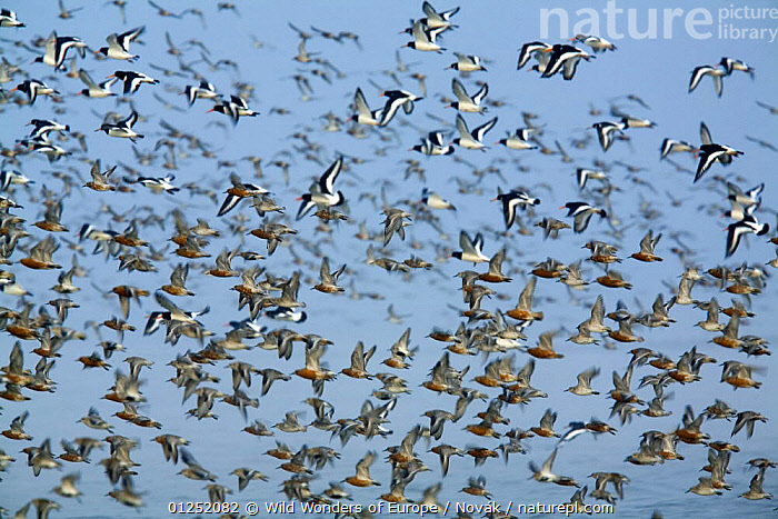 Dunlin (Calidris alpina) Knot (Calidris canutus) and Oystercatchers (Haematopus ostralegus) in flight, Grossmorsum, Sylt, Germany, April 2009  ,  BIRDS,EUROPE,FLOCKS,FLYING,GERMANY,GROUPS,L�szl� Nov�k,MIXED SPECIES,OYSTERCATCHERS,red knot,SANDPIPERS,VERTEBRATES,wadden sea,WADERS,WWE  ,  Wild Wonders of Europe / Novák