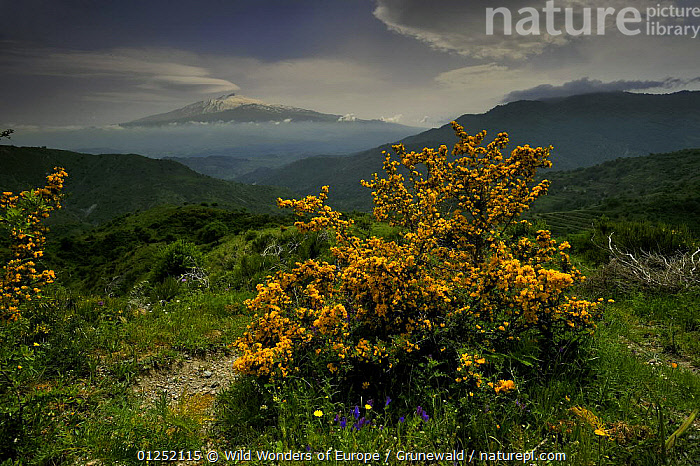 North side of Mount Etna Volcano, Sicily, Italy, May 2009  ,  Active,CLOUDS,EUROPE,FLOWERS,ITALY,LANDSCAPES,Olivier Grunewald ,SICILY,SNOW,VOLCANOES,WWE,Weather,Geology  ,  Wild Wonders of Europe / Grunewald