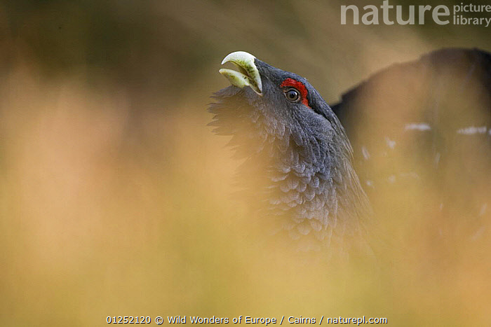 Capercaillie (Tetrao urogallus) male displaying, Cairngorms NP, Scotland, March 2009  ,  ARTY SHOTS,BEHAVIOUR,DISPLAY,EUROPE,MALES,NP,Peter Cairns,RESERVE,UK,VOCALISATION,WWE,Communication,National Park, United Kingdom, United Kingdom  ,  Wild Wonders of Europe / Cairns