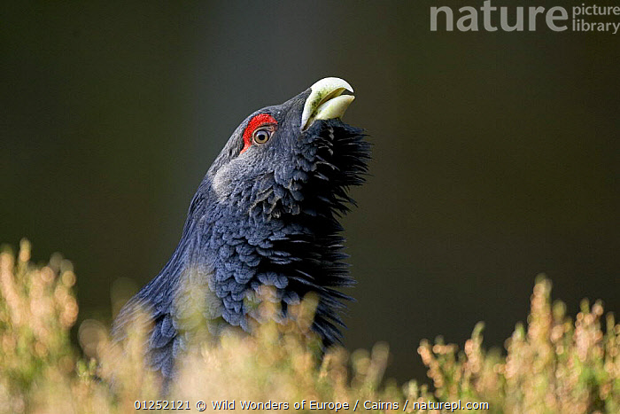 Capercaillie (Tetrao urogallus) male displaying, Cairngorms NP, Scotland, March 2009  ,  BEHAVIOUR,EUROPE,HEADS,MALES,NP,Peter Cairns,PORTRAITS,RESERVE,UK,VOCALISATION,WWE,National Park, United Kingdom, United Kingdom  ,  Wild Wonders of Europe / Cairns