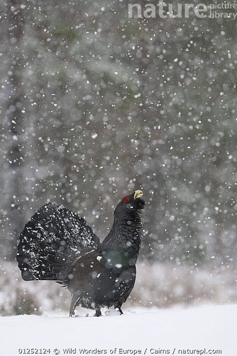 Capercaillie (Tetrao urogallus) male displaying in snow, Cairngorms NP, Scotland, February 2009  ,  BEHAVIOUR,DISPLAY,EUROPE,MALES,NP,Peter Cairns,RESERVE,SNOW,snowing,UK,VERTICAL,VOCALISATION,WWE,Communication,National Park, United Kingdom, United Kingdom  ,  Wild Wonders of Europe / Cairns