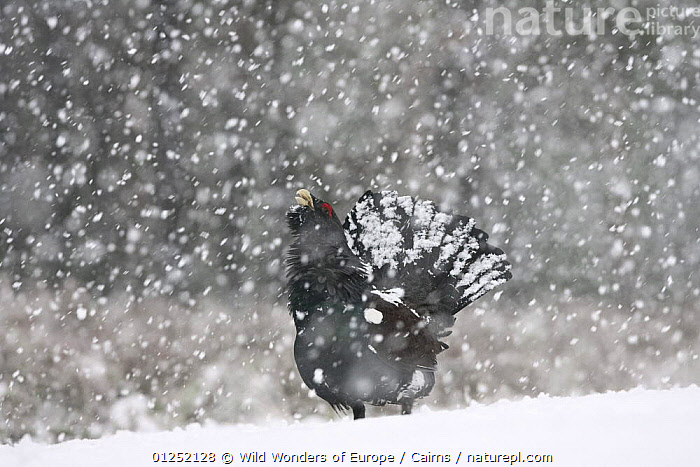 Capercaillie (Tetrao urogallus) male displaying in heavy snowfall, Cairngorms NP, Scotland, February 2009, BEHAVIOUR,BIRDS,DISPLAY,EUROPE,GALLIFORMES,GAME BIRDS,GROUSE,MALES,NP,Peter Cairns,RESERVE,SNOW,snowing,UK,VERTEBRATES,WWE,Communication,National Park, United Kingdom, United Kingdom, Wild Wonders of Europe / Cairns