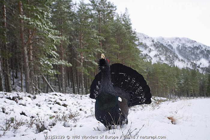 Capercaillie (Tetrao urogallus) male displaying in snow, Cairngorms NP, Scotland, February 2009.  ,  BEHAVIOUR,BIRDS,DISPLAY,EUROPE,FORESTS,GALLIFORMES,GAME BIRDS,GROUSE,LANDSCAPES,MALES,NP,Peter Cairns,RESERVE,SNOW,UK,VERTEBRATES,WWE,Communication,National Park, United Kingdom, United Kingdom, United Kingdom  ,  Wild Wonders of Europe / Cairns