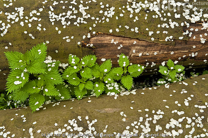 Stinging neetles (Urtica dioica) growing between logs covered with Cherry blossom petals, Hallerbos, Belgium, April 2009  ,  BELGIUM,DICOTYLEDONS,EUROPE,FORESTS,Maurizio Biancarelli,petals,PLANTS,ROSACEAE,URTICACEAE,Wood,WOODLANDS,WWE  ,  Wild Wonders of Europe / Biancarelli