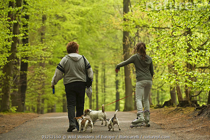 Two women walking Jack russell terriers, one on roller blades, Hallerbos, Belgium, April 2009  ,  Beech,BELGIUM,DOGS,EUROPE,FORESTS,LEISURE,Maurizio Biancarelli,PEOPLE,PETS,small dogs,terriers,WOODLANDS,WWE  ,  Wild Wonders of Europe / Biancarelli
