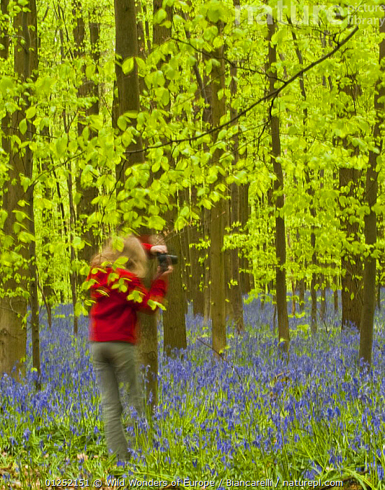Woman photographing Bluebells (Hyacinthoides non-scripta / Endymion non-scriptum) and European beech trees (Fagus sylvatica) in the Hallerbos, Belgium, April 2009  ,  BELGIUM,BLUE,DICOTYLEDONS,EUROPE,FAGACEAE,FLOWERS,FORESTS,LEISURE,LILIACEAE,Maurizio Biancarelli,MONOCOTYLEDONS,PEOPLE,PHOTOGRAPHY,PLANTS,VERTICAL,WOODLANDS,WWE  ,  Wild Wonders of Europe / Biancarelli