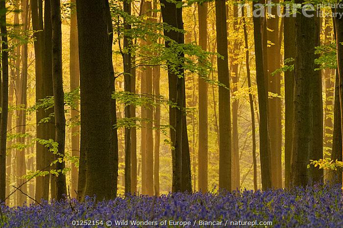 Hallerbos with mist at dawn, Bluebells (Hyacinthoides non-scripta / Endymion non-scriptum) in foreground, Belgium, April 2009. WWE OUTDOOR EXHIBITION.  ,  BELGIUM, EUROPE, FLOWERS, FORESTS, LANDSCAPES, LILIACEAE, Maurizio-Biancarelli, MONOCOTYLEDONS, PLANTS, TREES, TRUNKS, WOODLANDS, WWE  ,  Wild Wonders of Europe / Biancar