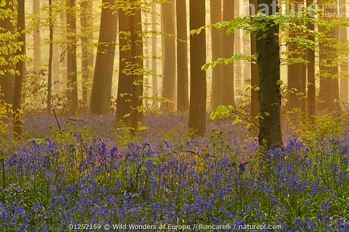 Bluebells (Hyacinthoides non-scripta / Endymion non-scriptum) flowering in wood, dawn light, in Beech wood, Hallerbos, Belgium, April 2009  ,  ATMOSPHERIC, BELGIUM, EUROPE, FLOWERS, FORESTS, LANDSCAPES, LILIACEAE, Maurizio-Biancarelli, MONOCOTYLEDONS, PLANTS, PURPLE, TREES, TRUNKS, WOODLANDS, WWE  ,  Wild Wonders of Europe / Biancarelli