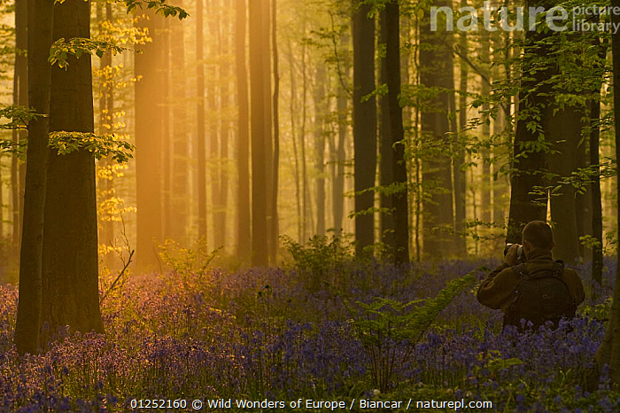 Photographer, Philippe Moes, photographing dawn light, in Beech wood, Hallerbos, Belgium, April 2009  ,  ATMOSPHERIC,BELGIUM,bluebells,EUROPE,FORESTS,LANDSCAPES,LILIACEAE,Maurizio Biancarelli,MONOCOTYLEDONS,ORANGE,PEOPLE,PHOTOGRAPHY,TREES,TRUNKS,WOODLANDS,WWE,PLANTS  ,  Wild Wonders of Europe / Biancar