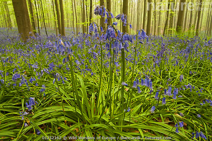 Bluebells (Hyacinthoides non-scripta / Endymion non-scriptum) flowering, in Beech wood, Hallerbos, Belgium, April 2009  ,  BELGIUM, BLUE, EUROPE, FLOWERS, FORESTS, LILIACEAE, Maurizio-Biancarelli, MONOCOTYLEDONS, PLANTS, TRUNKS, WOODLANDS, WWE  ,  Wild Wonders of Europe / Biancarelli