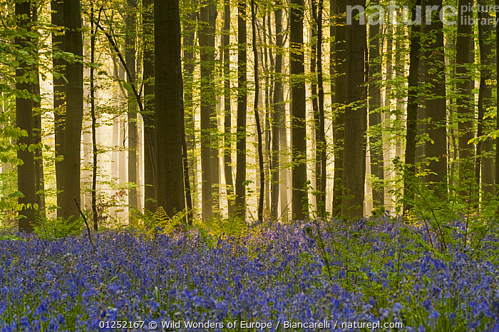 Bluebells (Hyacinthoides non-scripta / Endymion non-scriptum) flowering, in Beech wood, Hallerbos, Belgium, April 2009  ,  BELGIUM, BLUE, EUROPE, FLOWERS, FORESTS, LILIACEAE, Maurizio-Biancarelli, MONOCOTYLEDONS, PLANTS, TREES, TRUNKS, WOODLANDS, WWE  ,  Wild Wonders of Europe / Biancarelli