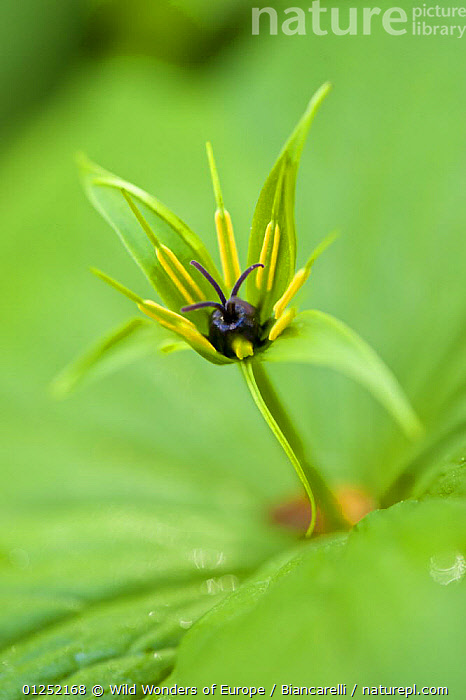 Herb paris (Paris quadrifolia) flower, Hallerbos, Belgium, April 2009  ,  BELGIUM,CLOSE UPS,EUROPE,FLOWERS,FORESTS,GREEN,LILIACEAE,Maurizio Biancarelli,MONOCOTYLEDONS,PLANTS,VERTICAL,WOODLANDS,WWE  ,  Wild Wonders of Europe / Biancarelli