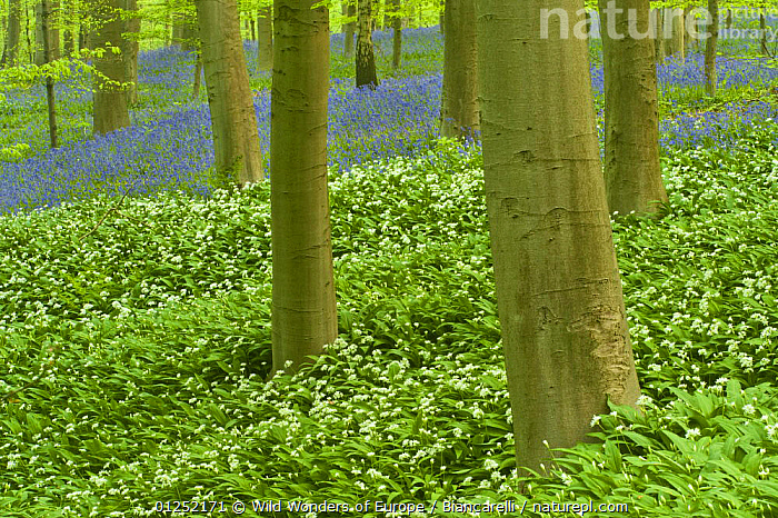 Wild garlic (Allium ursinum) and Bluebell (Hyacinthoides non-scripta / Endymion non-scriptum) carpet in Beech wood, Hallerbos, Belgium, April 2009  ,  BELGIUM, BLUE, EUROPE, FLOWERS, FORESTS, LILIACEAE, Maurizio-Biancarelli, MIXED-SPECIES, MONOCOTYLEDONS, PLANTS, TRUNKS, WOODLANDS, WWE  ,  Wild Wonders of Europe / Biancarelli