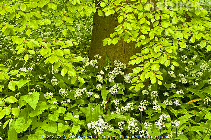 European beech tree (Fagus sylvatica) and undergrowth including Wild garlic (Allium ursinum)  Hallerbos, Belgium, April 2009  ,  BELGIUM,DICOTYLEDONS,EUROPE,FAGACEAE,FORESTS,HIGH ANGLE SHOT,LEAVES,LILIACEAE,Maurizio Biancarelli,MIXED SPECIES,MONOCOTYLEDONS,PLANTS,WOODLANDS,WWE  ,  Wild Wonders of Europe / Biancarelli