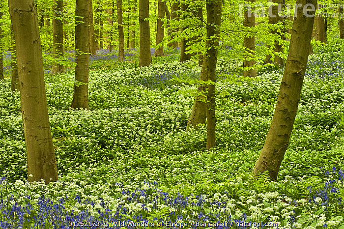 Wild garlic (Allium ursinum) and Bluebell (Hyacinthoides non-scripta / Endymion non-scriptum) carpet in Beech wood, Hallerbos, Belgium, April 2009  ,  BELGIUM,BLUE,bluebells,EUROPE,FLOWERS,FORESTS,LILIACEAE,Maurizio Biancarelli,MIXED SPECIES,MONOCOTYLEDONS,PLANTS,WHITE,WOODLANDS,WWE  ,  Wild Wonders of Europe / Biancarelli