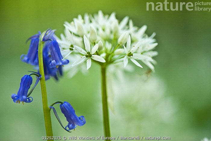 Wild garlic (Allium ursinum) and Bluebell (Hyacinthoides non-scripta / Endymion non-scriptum) in flower, Beech wood, Hallerbos Belgium, April 2009  ,  BELGIUM,BLUE,EUROPE,FORESTS,fowers,LILIACEAE,Maurizio Biancarelli,MIXED SPECIES,MONOCOTYLEDONS,PLANTS,WHITE,WOODLANDS,WWE  ,  Wild Wonders of Europe / Biancarelli